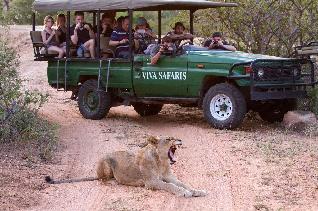safari lion truck people